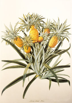 Illustration botanique / Ananas comosum / Ananas