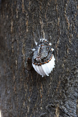 Icerya purchasi / Cochenille australienne / Parasite des Citrus