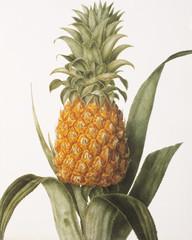 Illustration botanique / Ananas comosum/ Ananas