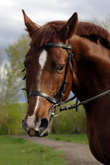 Brown horse with bridle, close-up