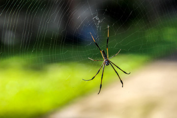 Araignée - Nephila Araignée néphila à l'île de la Réunion
