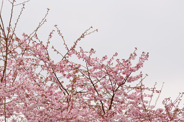 Japanische Kirschblüten (sakura) an einem trüben Frühlingstag