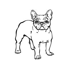 Hand drawn vector french bulldog.