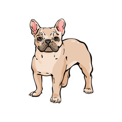 Hand drawn vector french bulldog