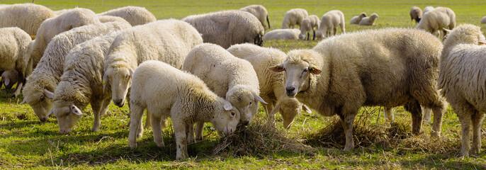 Lamm Lämmer Schafe