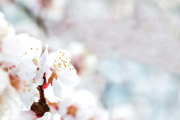 White flowers on plum tree
