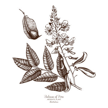 Vector hand drawn illustration of Balsam of Peru on white background. Aromatic and medicinal plant sketch. Perfumery and cosmetics ingredients.