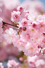 blooming cherries on spring day