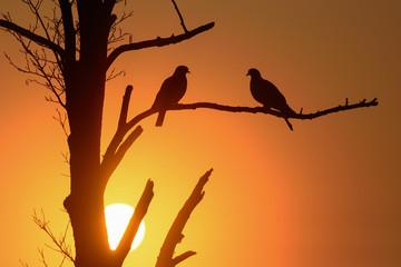 Ringeltauben Paar bei Sonnenaufgang