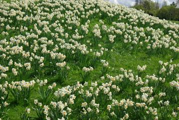 Narcisses blancs en prairie au printemps