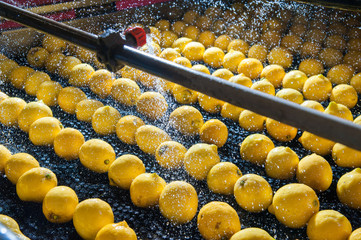 Primofiore lemons of the variety Femminello Siracusano during the washing process of a modern production line