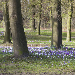 purple crocusses in park between beech trees in the netherlands