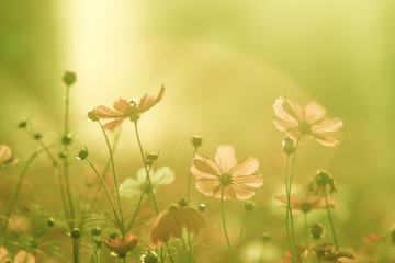 Beautiful Cosmos Flower Background