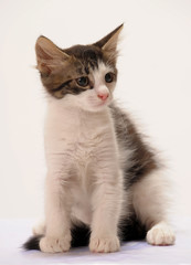 Little kitten isolated on white background.