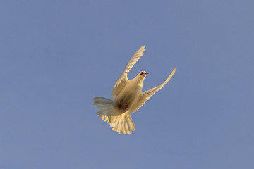 white dove highlighted the warm sun