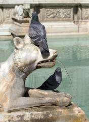 Pigeons on the wolf statue of Fonte Gaia fountain in Siena, Italy