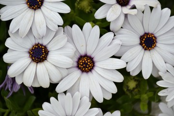 Details of purple daisies and green leaves