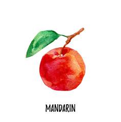 Mandarin illustration. Hand drawn watercolor on white background.