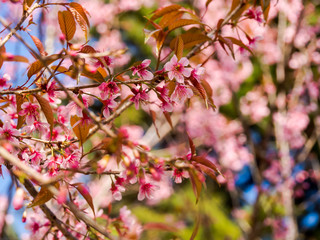 The Wild Himalayan cherry (Prunus cerasoides) is the variety of sakura growing in Thailand.