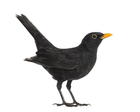 Side view of a blackbird, isolated on white