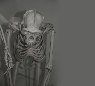 skull of Australopithecus africanus from Africa isolated on the white background. Australopithecus africanus from Africa. skeleton of Chimpanzee gorilla orangutan