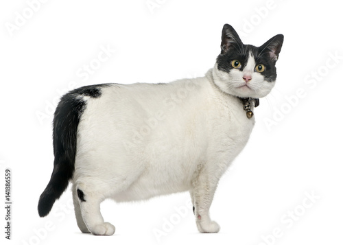 """Angry Fat Cat, Isolated On White"" Stock Photo And Royalty"