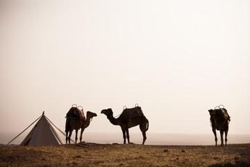 chameaux dans le désert dans un camp avec une tente