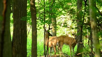 Wall Mural - Whitetail Deer Buck In Velvet
