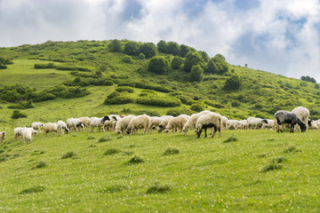 Rural Summer Landscape with Sheeps in Persembe Highlands -Ordu - Turkey