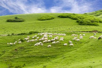 Rural Summer Landscape with Sheeps in Persembe Highlands -Ordu - Turkey