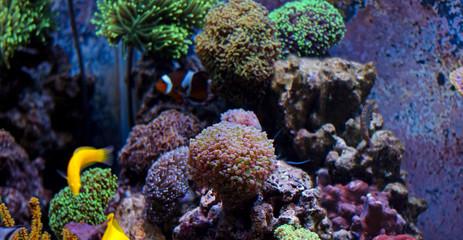 Amazing Colorful Corals in  Reef Aquarium Tank