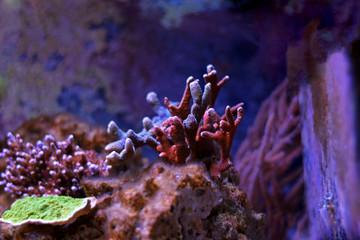 Multicolored montipora sps coral