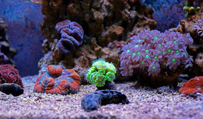 Amazing Colorful Corals in  Reef Aquarium Tank