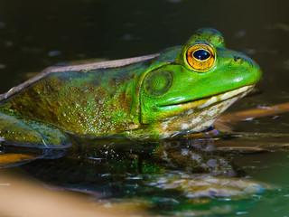 Arizona Male Bullfrog Macro Photo
