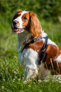 Welsh Springer Spaniel sits on the grass wearing a harness