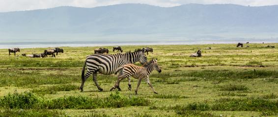 Newborn Baby Zebra with Mother Zebra