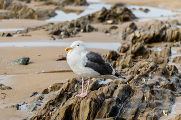 Western gull standing on rocks exposed by low tide in Laguna Beach, California.