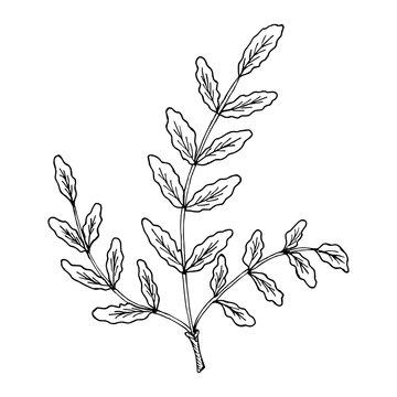 Indian Frankincense Salai or Boswellia serrata vintage illustration.Olibanum-tree (Boswellia sacra), aromatic tree. Ink hand drawn herbal illustration.