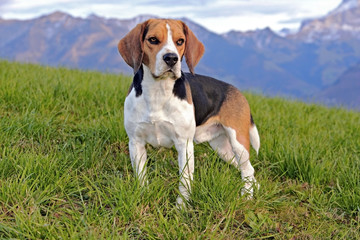 Beautiful Beagle male standing in meadow, Mountains in background
