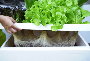 Simply Vegetables hydroponics in foam box.