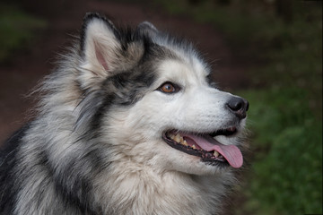 close up portrait and profile of a head of a husky and malamute dog. Looking right with tongue out