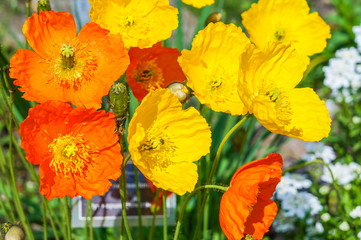 Colorful poppy flowers in the spring sunshine
