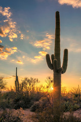 Saguaros at sunset in Sonoran Desert near Phoenix, Arizona.