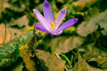 purple spring flower photo effect