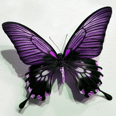 Purple Wings Butterfly On A White Striped Cardboard
