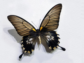 Brown Wings Butterfly On A White Striped Cardboard