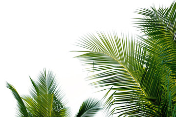 Closeup leaves of coconut tree isolated on white background