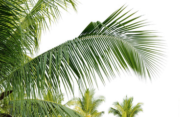 Closeup leaves of coconut tree on white background