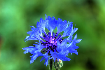 Field flower. Blooming cornflower growing on the summer field.