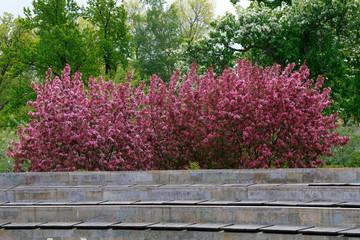 Background. Blooming apple trees Nedzewski in the park.